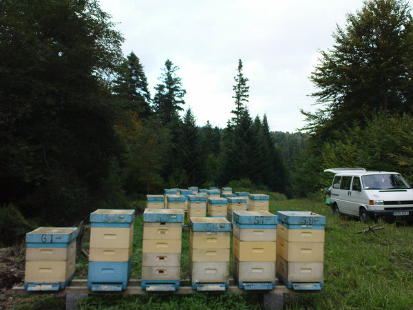 Oglądasz zdjęcia z artykułu Pszczoły na spadzi 2010
